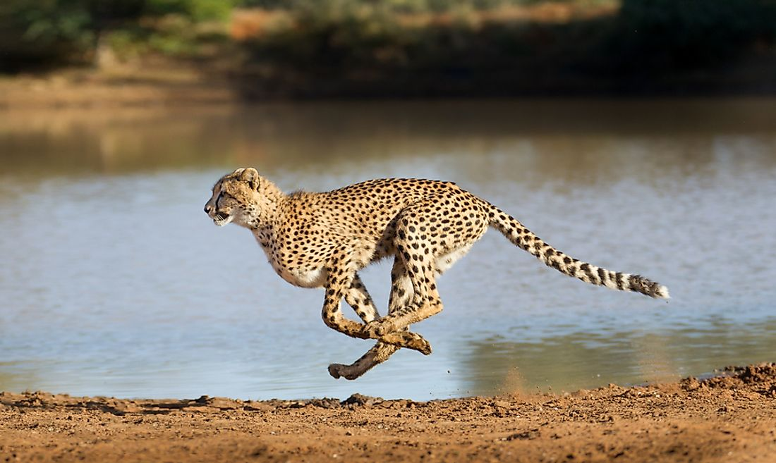A cheetah, an animal capable of running faster than 70 miles per hour, seen sprinting across the grass.