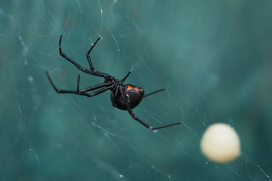 Black Widow spiders live in warmer regions of the world.