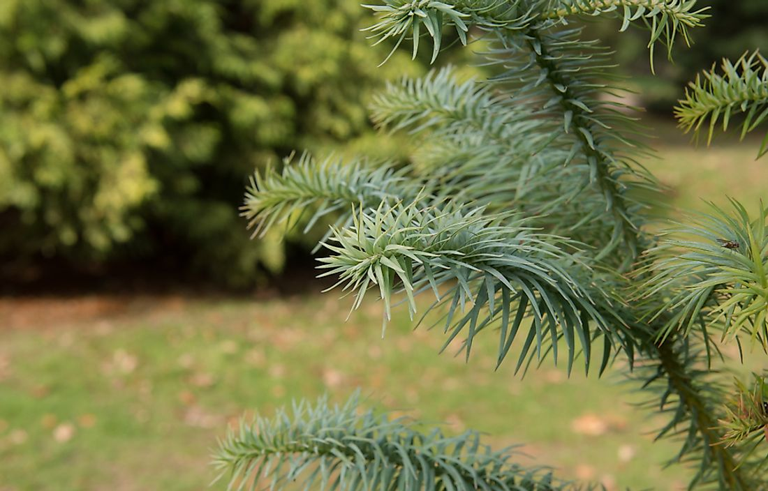 The China fir is a needled evergreen tree native to forested areas of central China and Tibet.