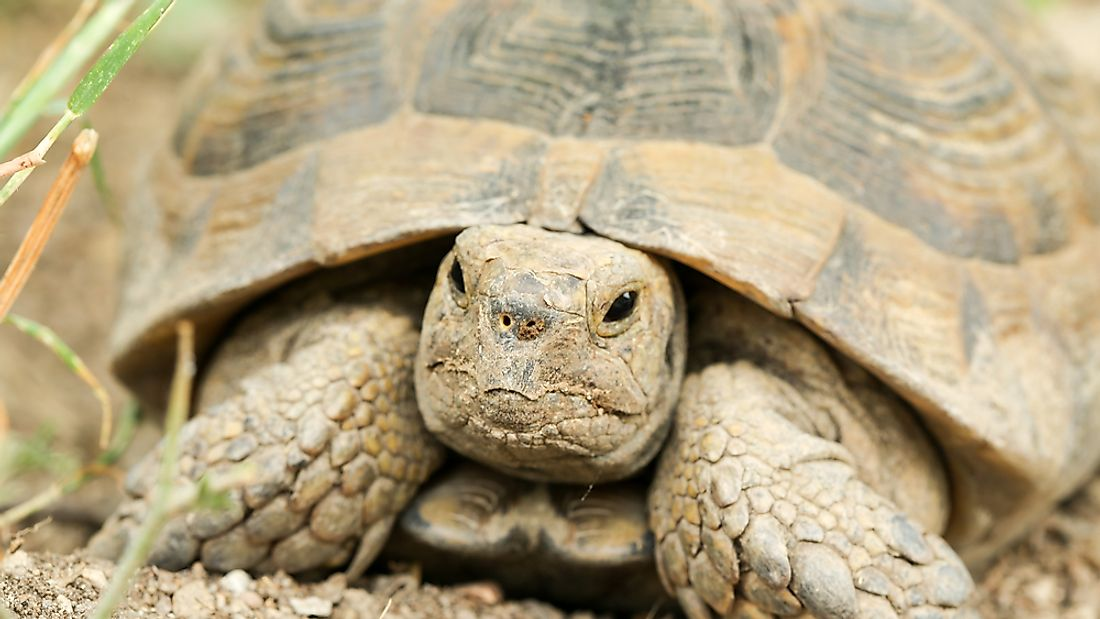The spur-thighed tortoise can be found in Spain and can achieve a lifespan of up to 200 years.