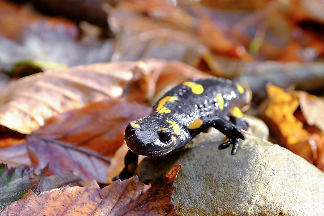 The spotted salamander is the official state amphibian of Ohio.