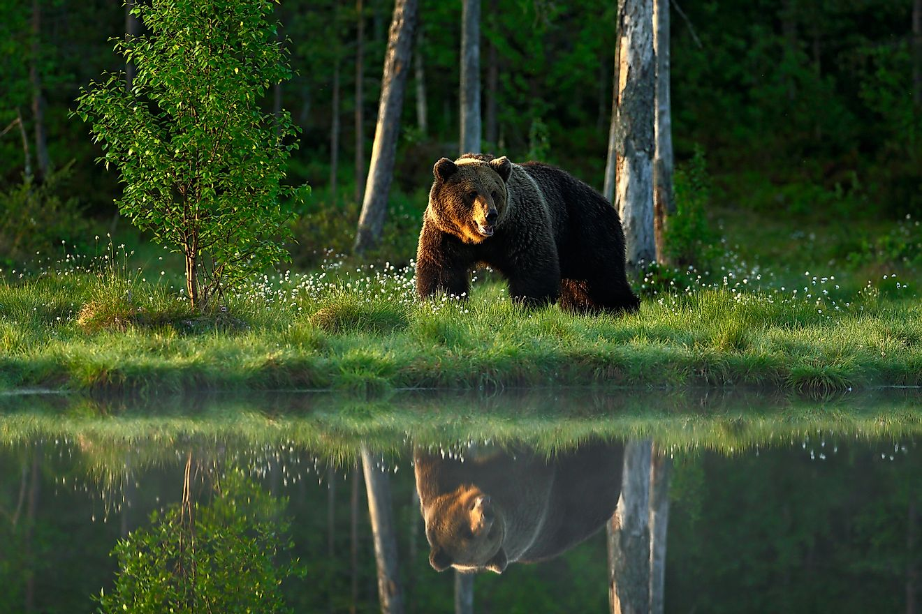 A majestic brown bear in a taiga forest of Europe. Image credit: Ondrej Prosicky/Shuttersotck.com
