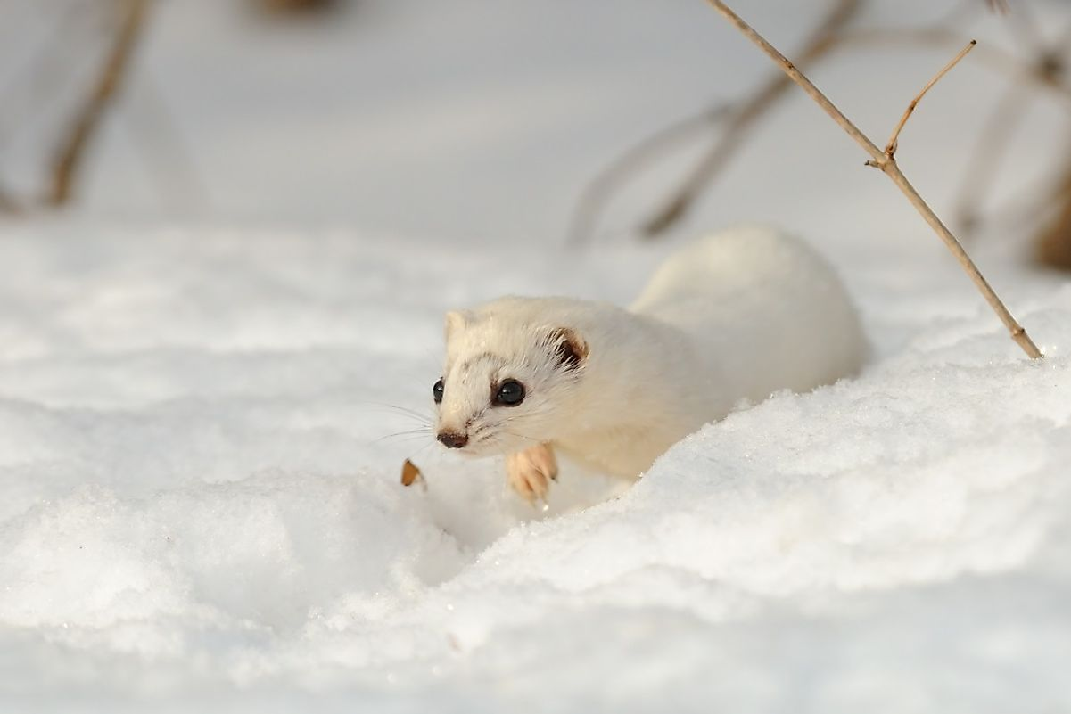 A white-coated Least Weasel traverses the snow in Russia.