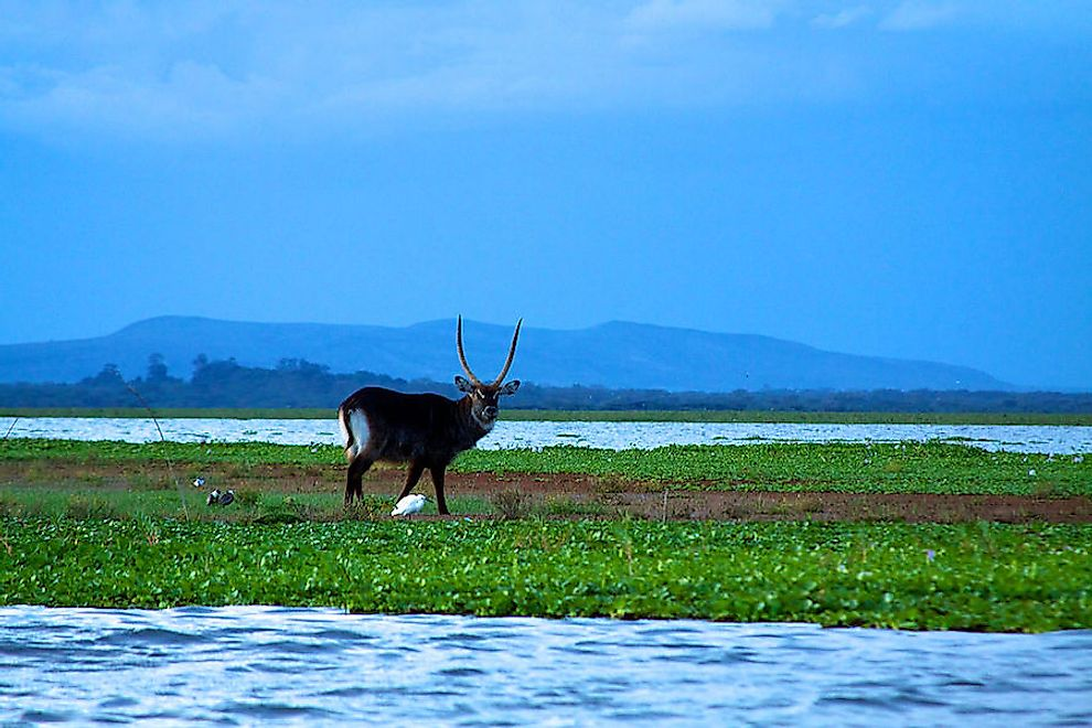 Big stag water buck on Lake Naivasha.