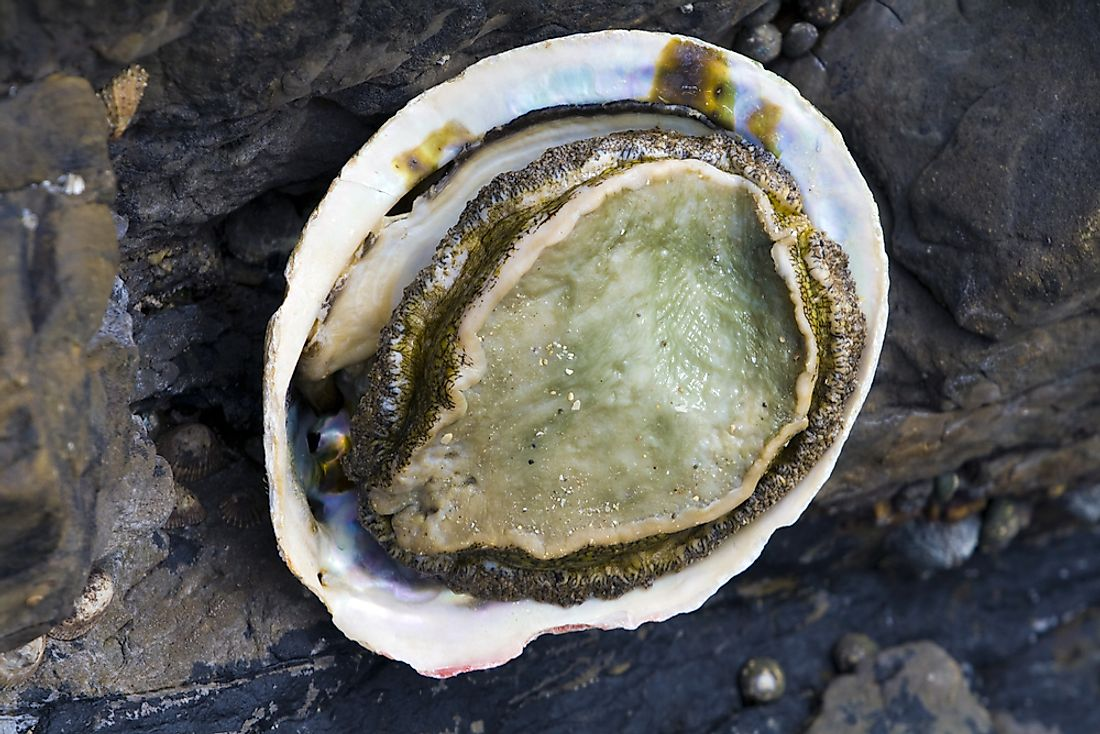 An abalone on the beach in South Africa.