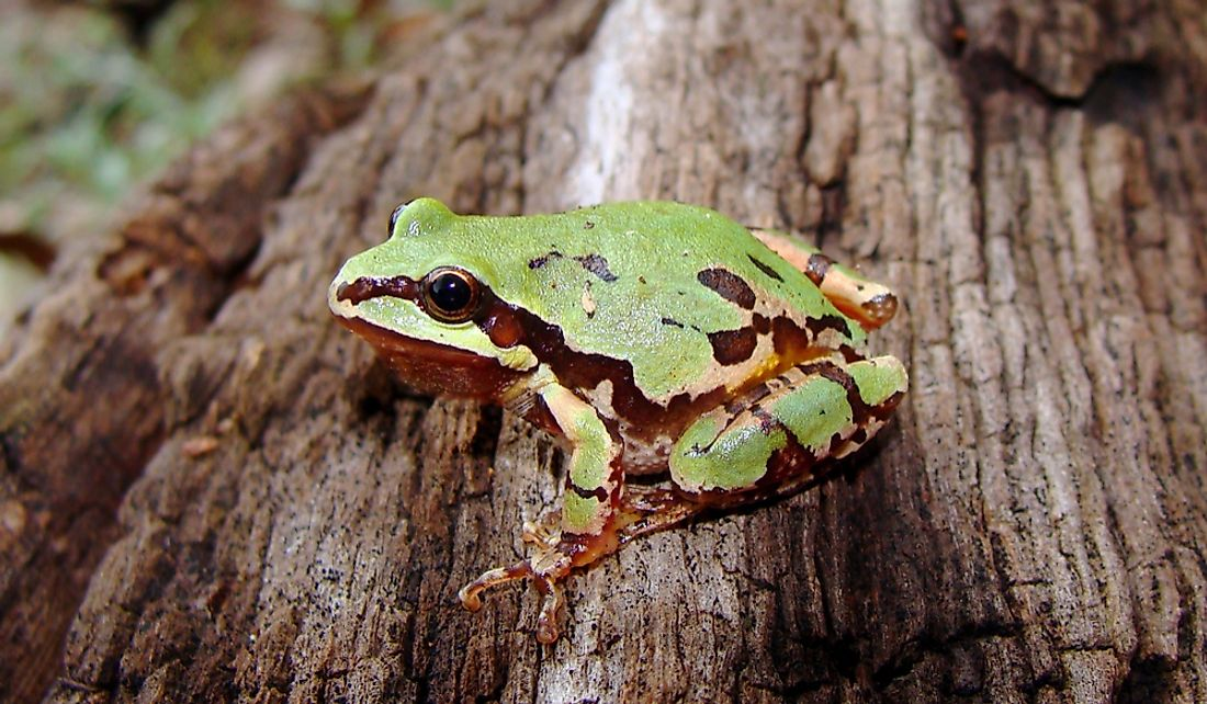 The Arizona tree frog is green is brown and yellow.