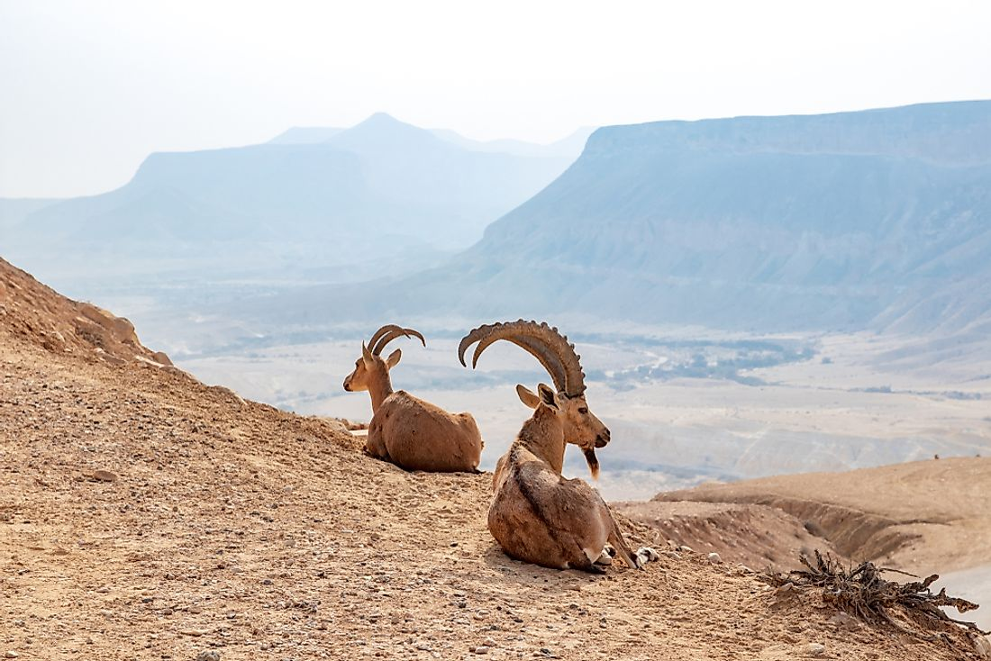 The Nubian ibex relaxes in the mountains of Eritrea.