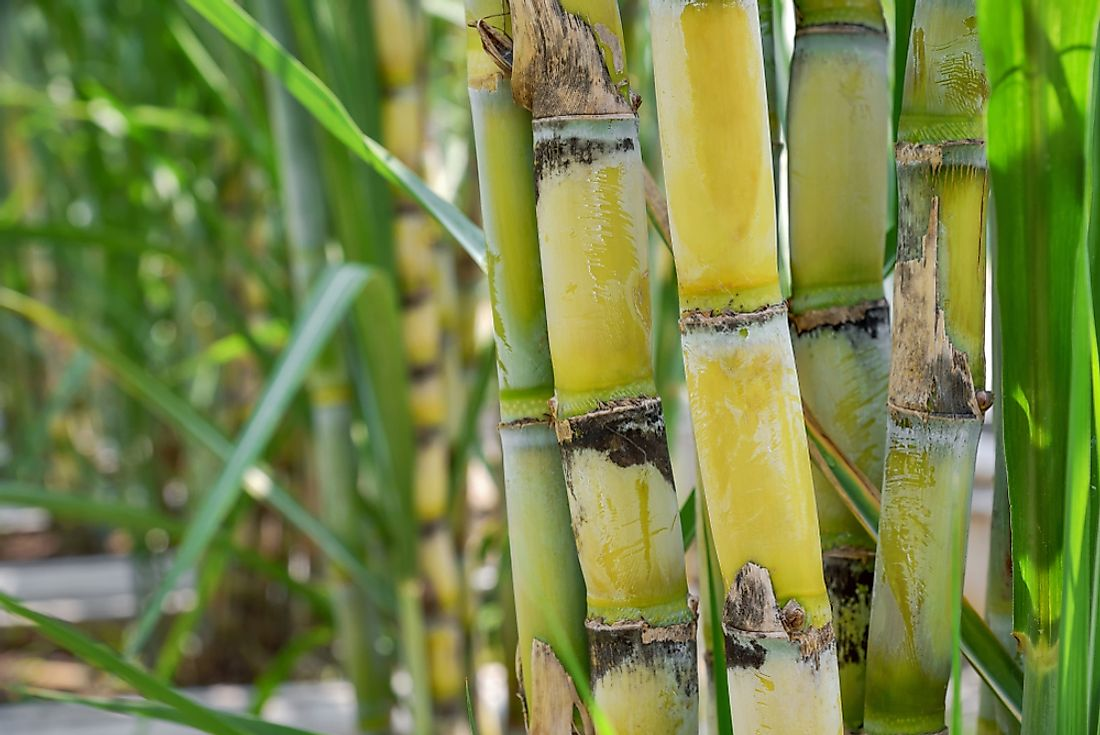 Sugarcane is an important crop in Guyana.