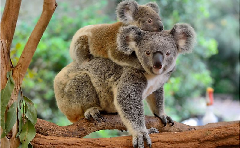 A mother koala with her baby on eucalyptus tree.
