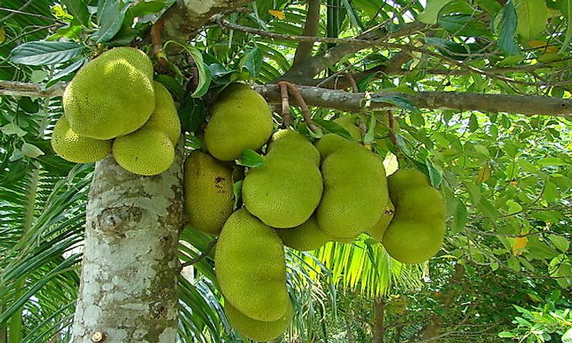 Bunches of jackfruits hanging from a jackfruit tree.