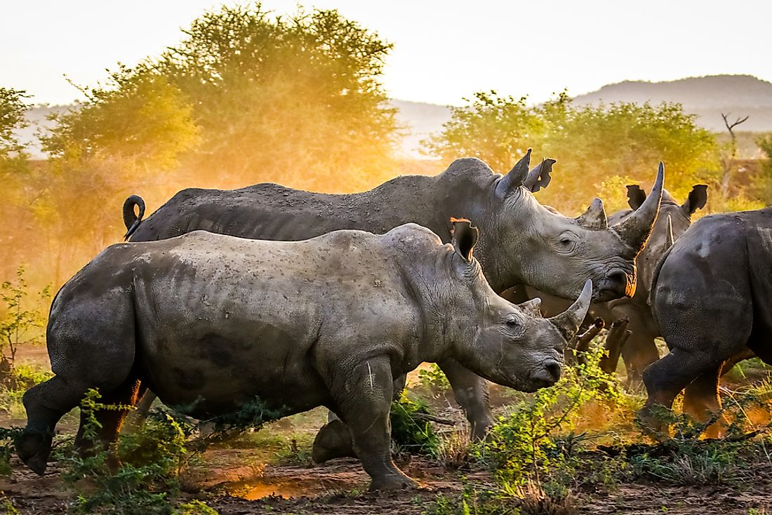 China is often considered the center of the rhinoceros and tiger trade networks.