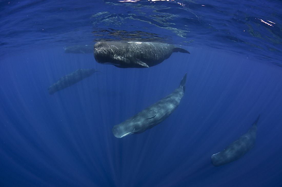 Pod of sperm whales.