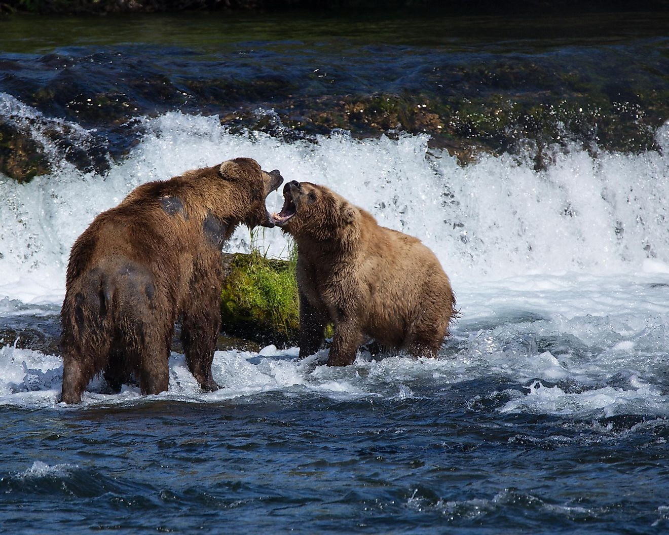 Two brown bears staring each other down in a show of dominance. A fight is likely to result from such a confrontation.