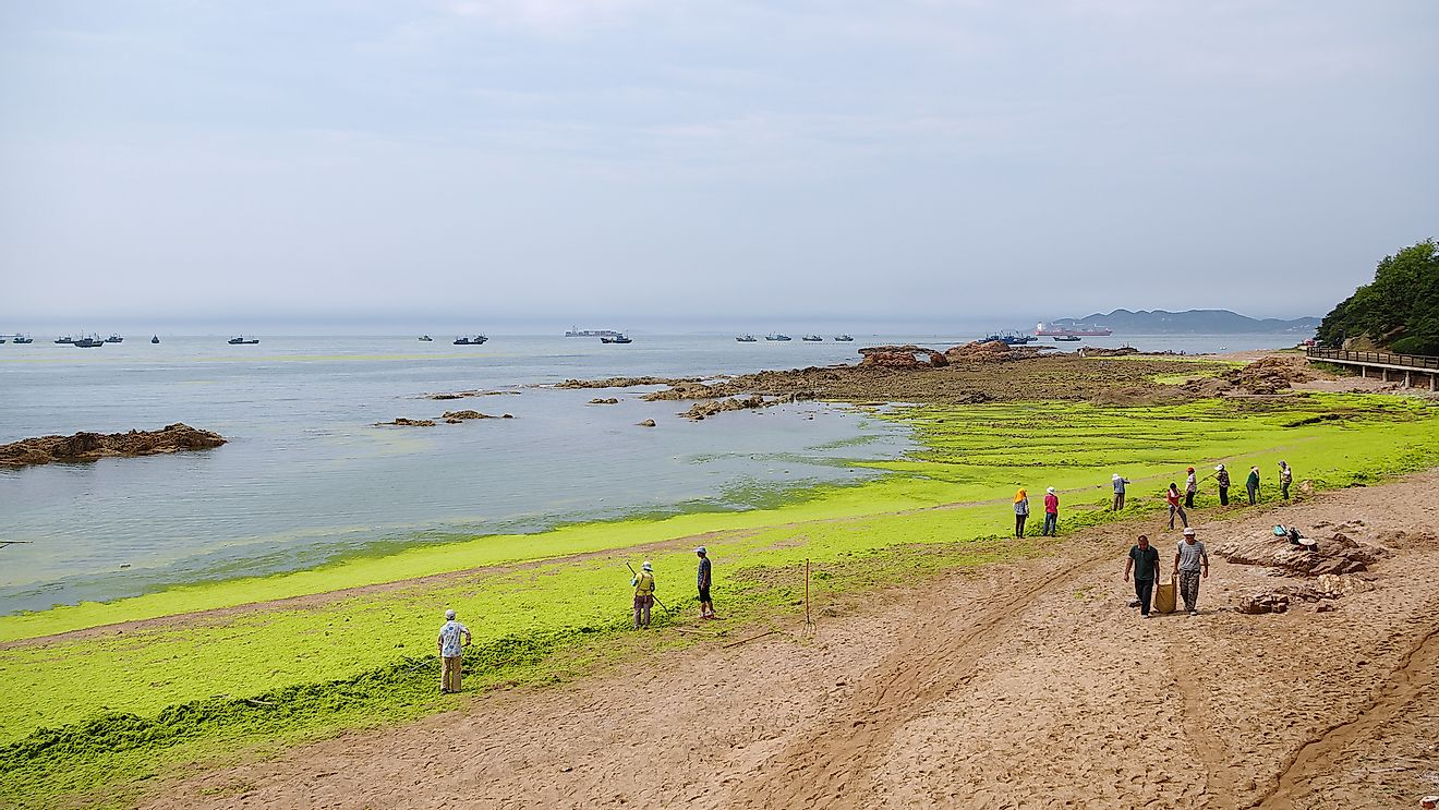 Workers are collecting and removing sea lettuce from Badaguan Beach, China, resulting from algal bloom due to water pollution. Editorial credit: Wang Junqi / Shutterstock.com