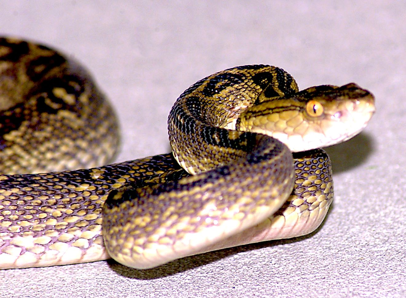 A Habu, a pit viper found in the Ryukyu Islands