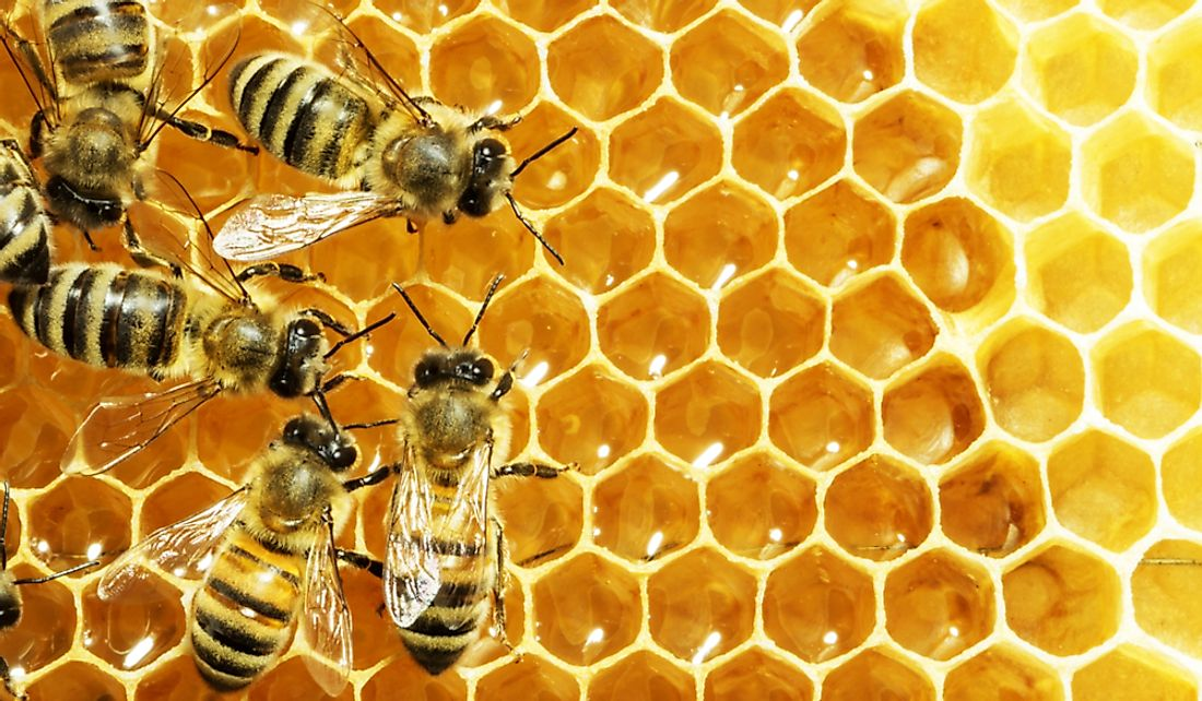 Worker bees are the primary laborers of the colony responsible for day-to-day operations.