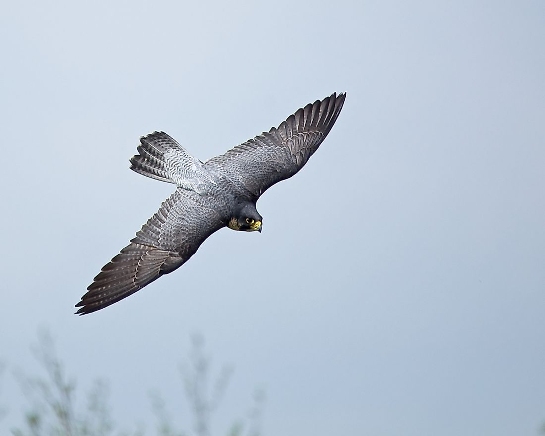 The Peregrine falcon is the fastest member of the animal kingdom and the fastest aerial animal.