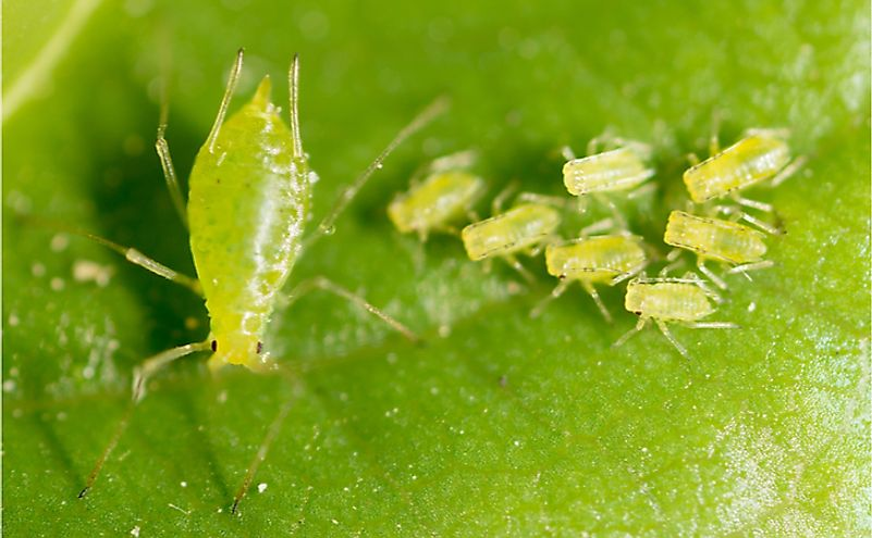 Aphids on a green leaf. Aphids exhibit reproduction by parthenogenesis.