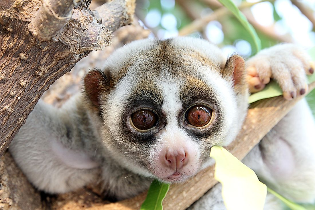 A slow loris in its natural habitat.