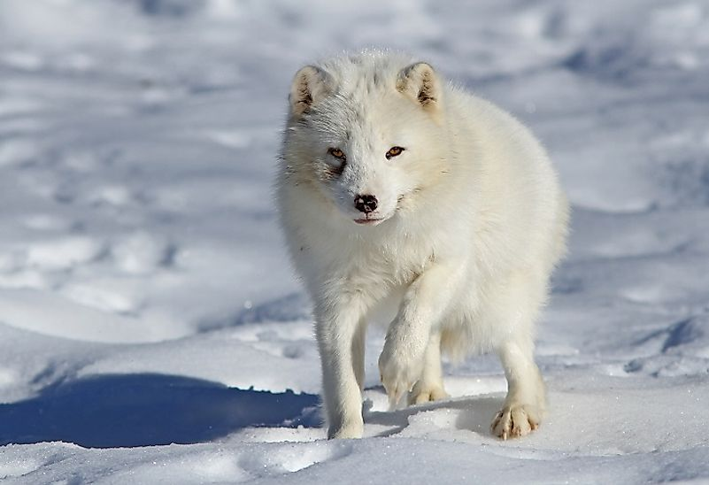 Arctic foxes and other endothermic mammals can create enough body heat to withstand some of the earth's coldest climes.