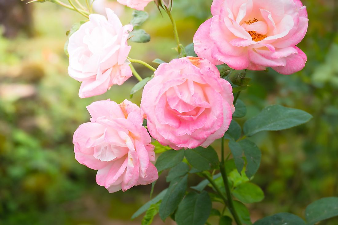 There are over 150 species of the rose plant.