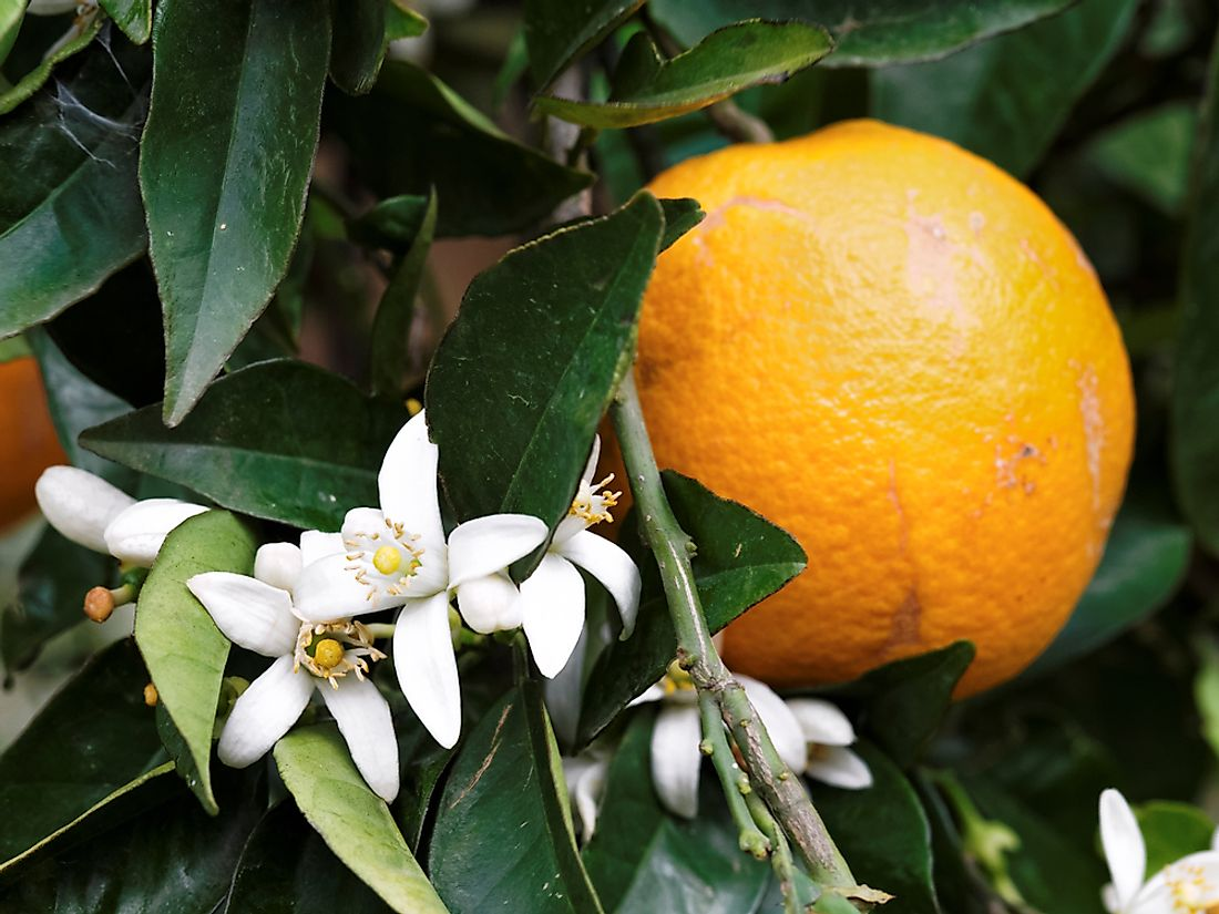 The orange blossom was selected as the state flower for its abundance and agricultural importance to the state.