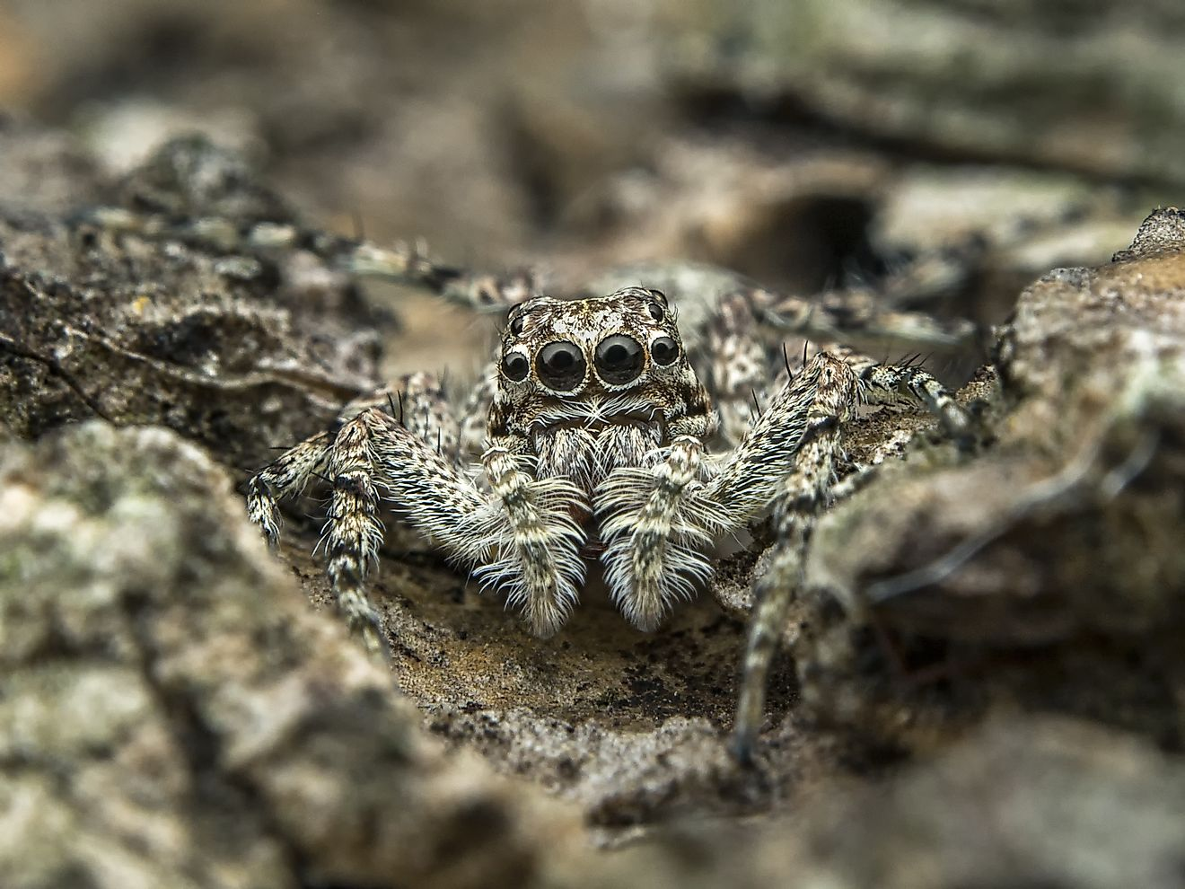 Their small sizes and ability to blend into their natural environs have enabled members of the Jumping Spider family to have such a large diaspora and global range.