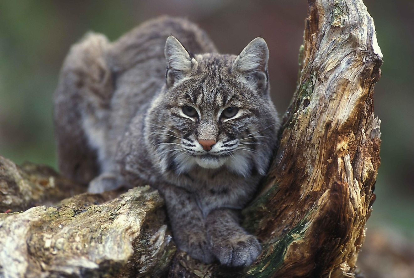 Clearly related to other felines, bobcats are much bigger than domesticated housecats and can hunt prey as large as deer and mountain goats.