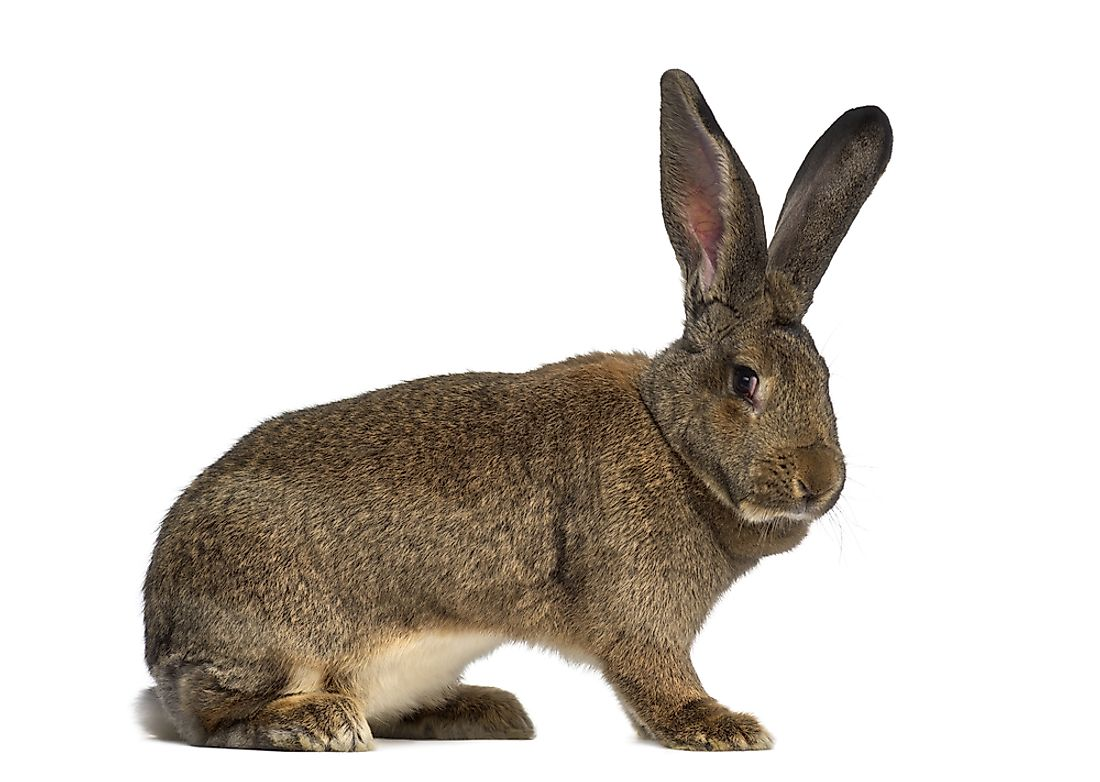 Flemish rabbits can reach up to 25 lbs in weight.