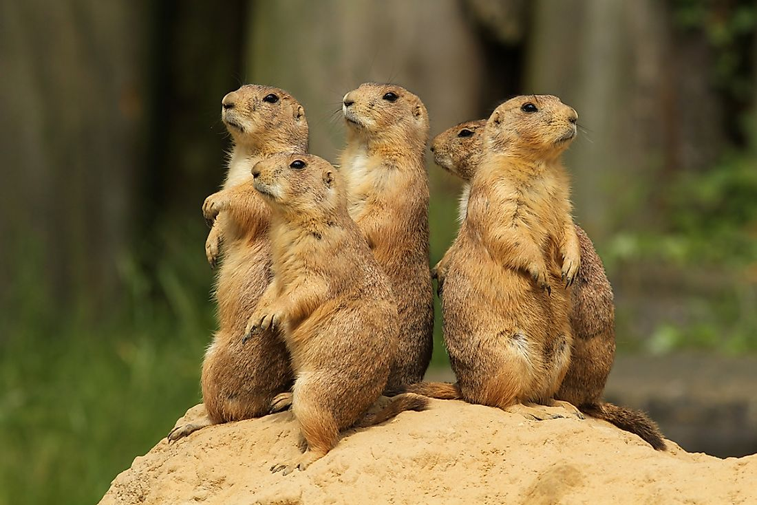 Prairie Dogs are very social animals. As such, the populations of their colonies may number in the thousands.