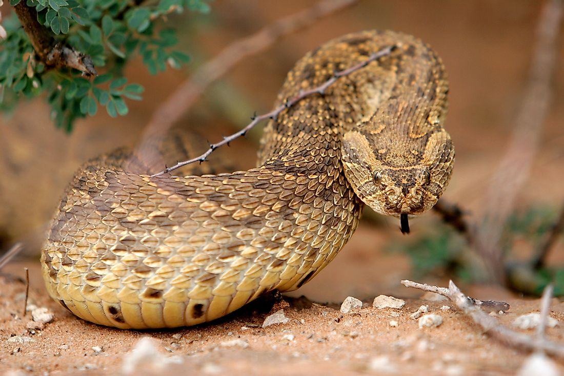 The puff adder snake is among Africa's most dangerous animals.