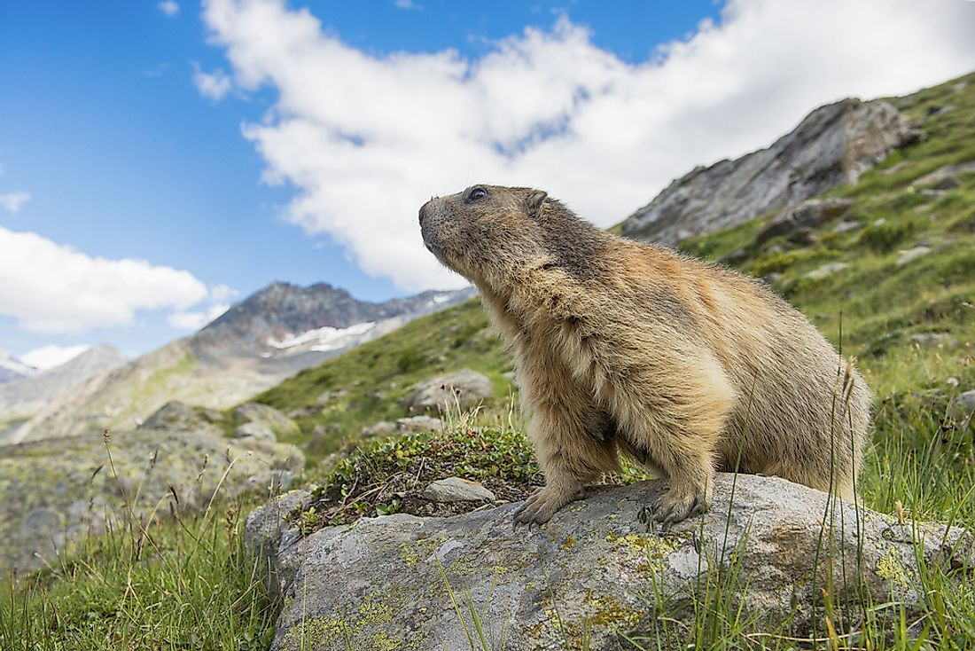 Alpine marmots are found in the Swiss Alps.