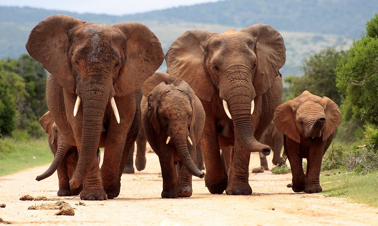 A herd of elephants at theAddo Elephant National Park, South Africa. Image credit: JONATHAN PLEDGER/Shutterstock.com