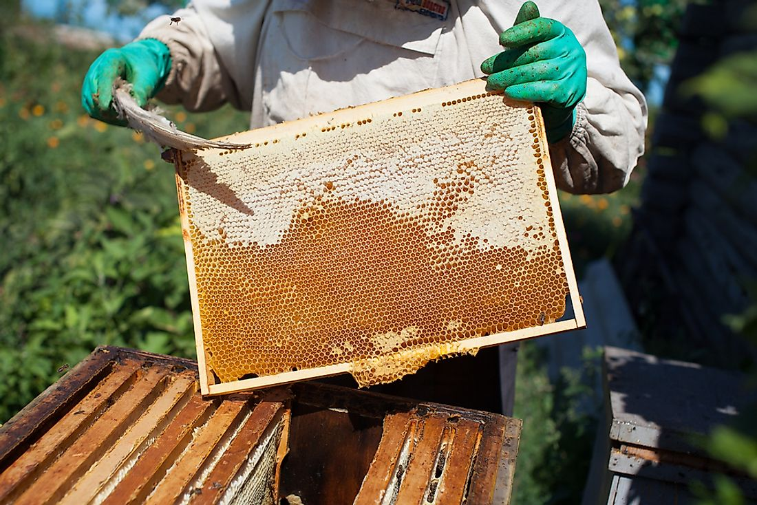 A beekeeper harvests honey.