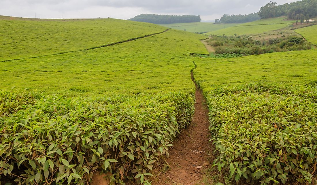 Tea is one of the common crops gown in Cameroon.