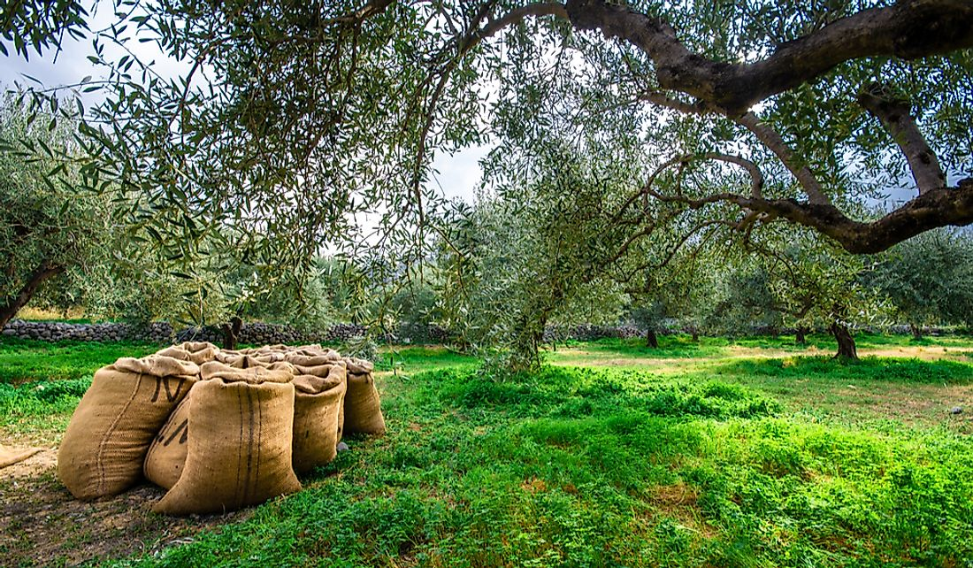 Greece is a leading producer of olives and olive oil.