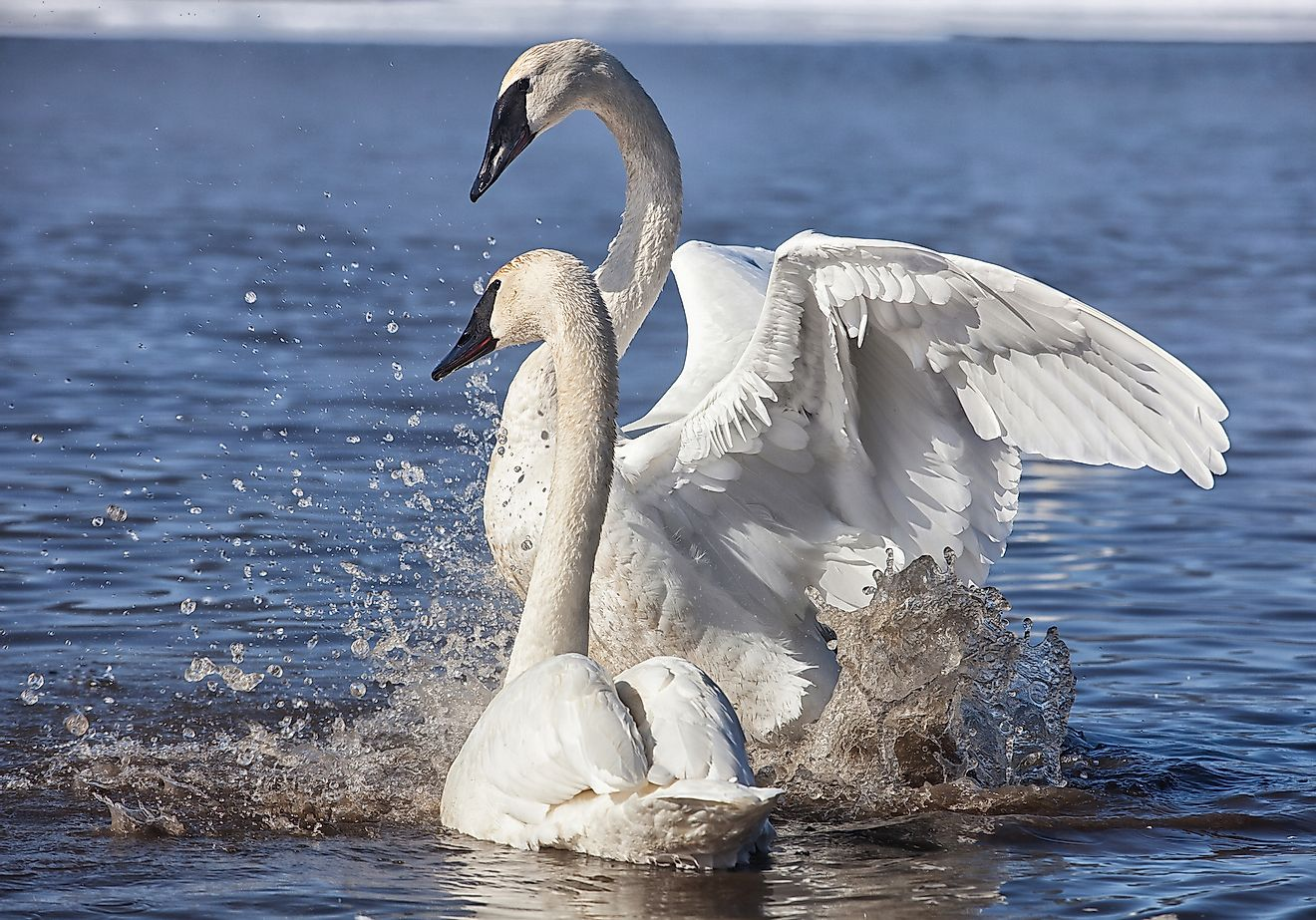 Trumpeter swans exhibiting courtship behavior.