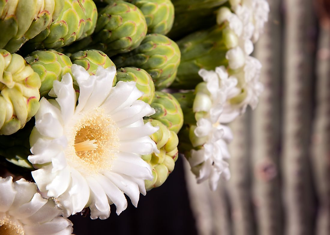 The cactus is indigenous to the Sonoran Desert.