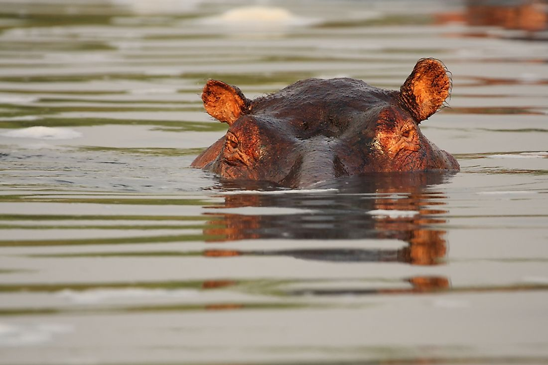 A hippo in the Nile River.