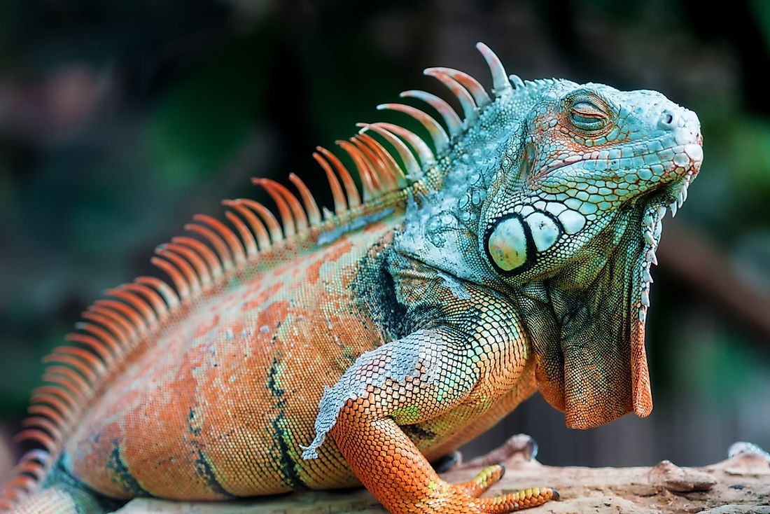 The green iguana is a member of the Infraorder Iguania species.