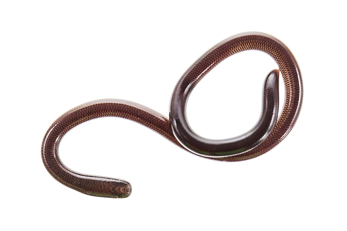 Threadsnakes are also known as slender blind snakes.