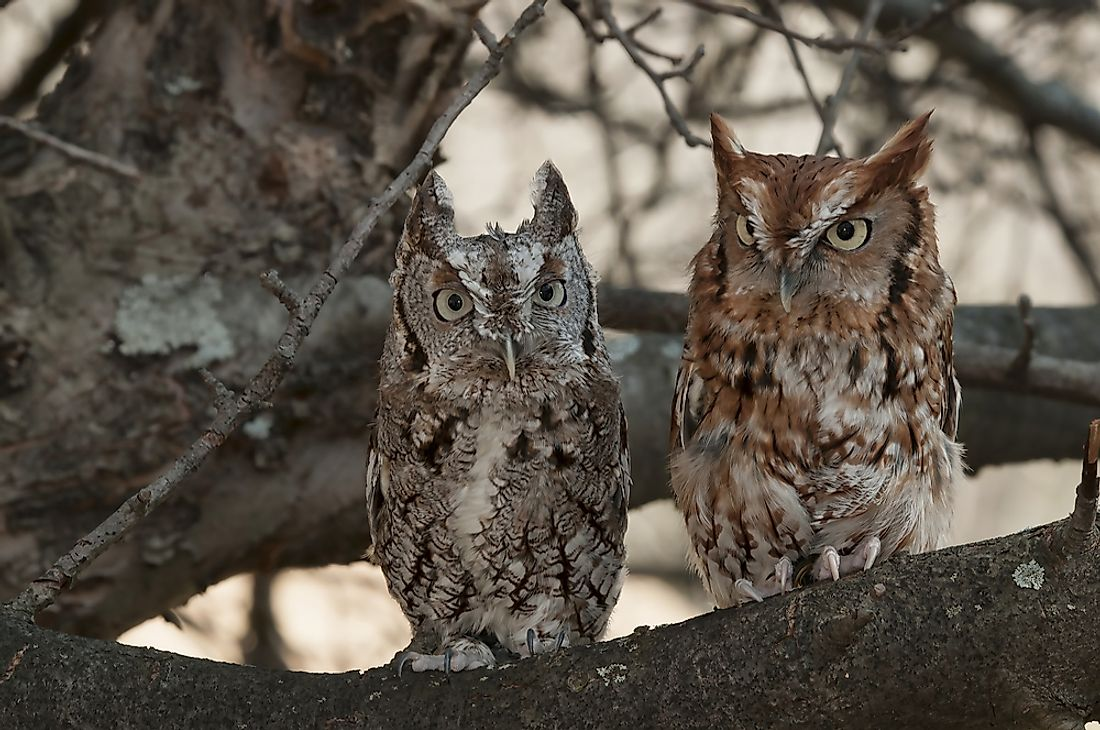 A pair of grey and rust colored eastern screech owls perched in a tree.