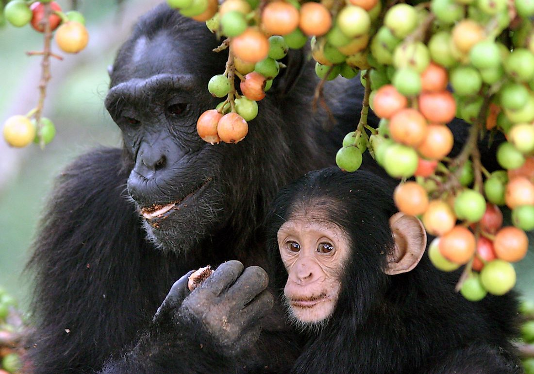 A mother chimpanzee with her child in the forests of the Congo Basin.