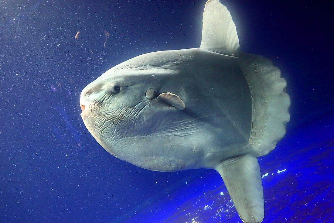 A close-up of an ocean sunfish.