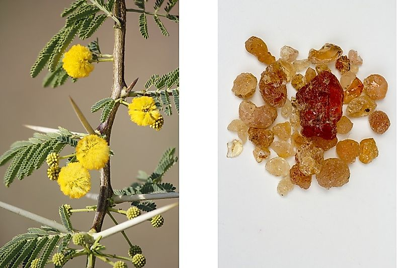 Vachellia Acacia plant (left) and derived, unprocessed, Gum Arabic (right).
