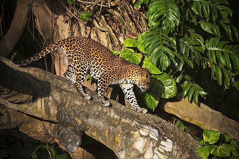 A Javan Leopard in the wild.
