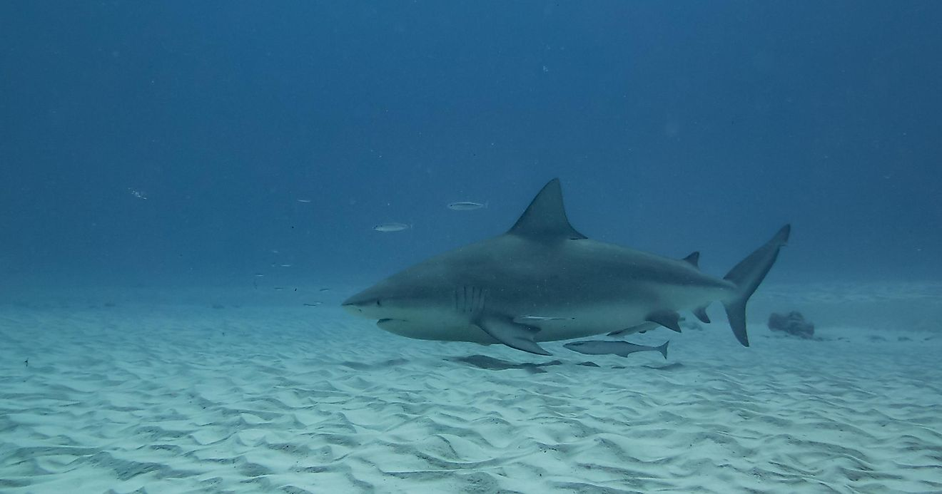 Female pregnant bull shark finding calm waters to give birth credit: Stefano Barzellotti / Shutterstock.com