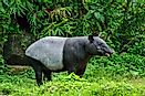 The Five Species Of Tapirs Living In The World Today