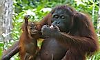 Orangutans Of The World: Species, Threats, And Conservation
