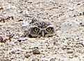 Burrowing Owl Facts: Animals of North America
